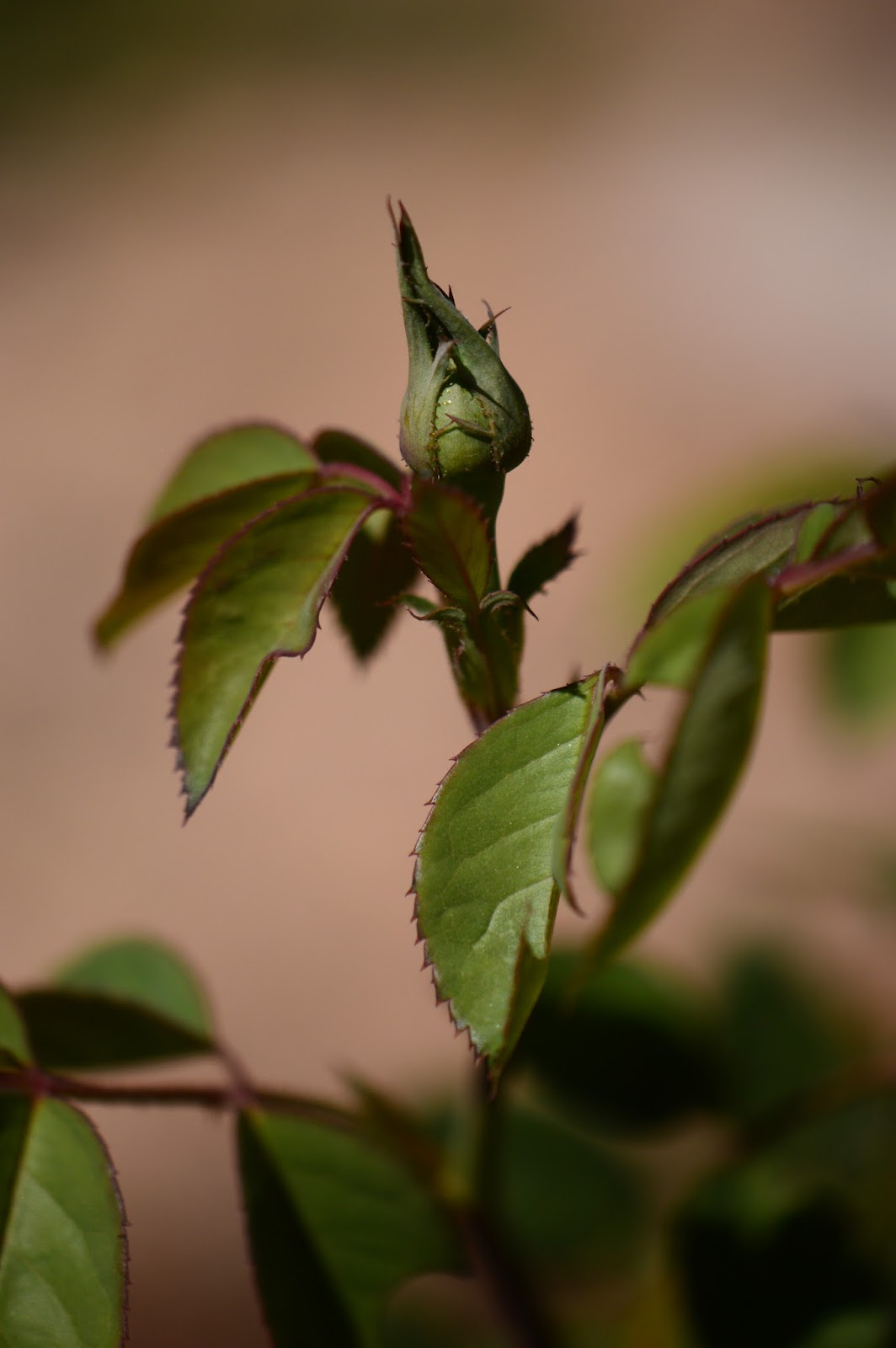 The Alnwick Rose flower bud