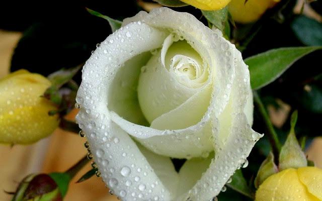 Witte roos met dauwdruppels