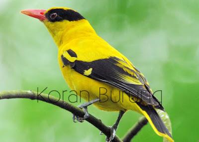 Kepodang termasuk burung kicau yang cukup gampang untuk dikenali Perawatan Harian Burung Kepodang Agar Cepat Bunyi