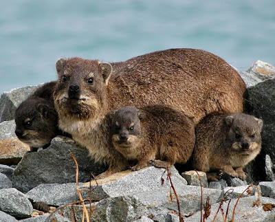 Rock Hyrax - Animals name with R