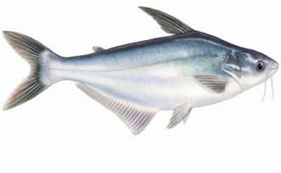 Persiapan Pembenihan Ikan Patin