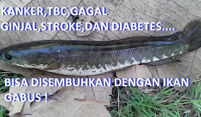 Hasil gambar untuk foto ikan gabus dapat menyembuhkan berbagai penyakit