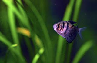 Black Tetra Jenis Ikan Tetra Terpopuler