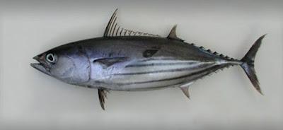 ikan cakalang jepang