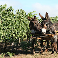 Donkeys in the Vineyard