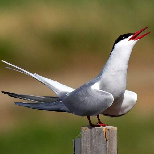 Indian birds - Photo of Arctic tern - Sterna paradisaea