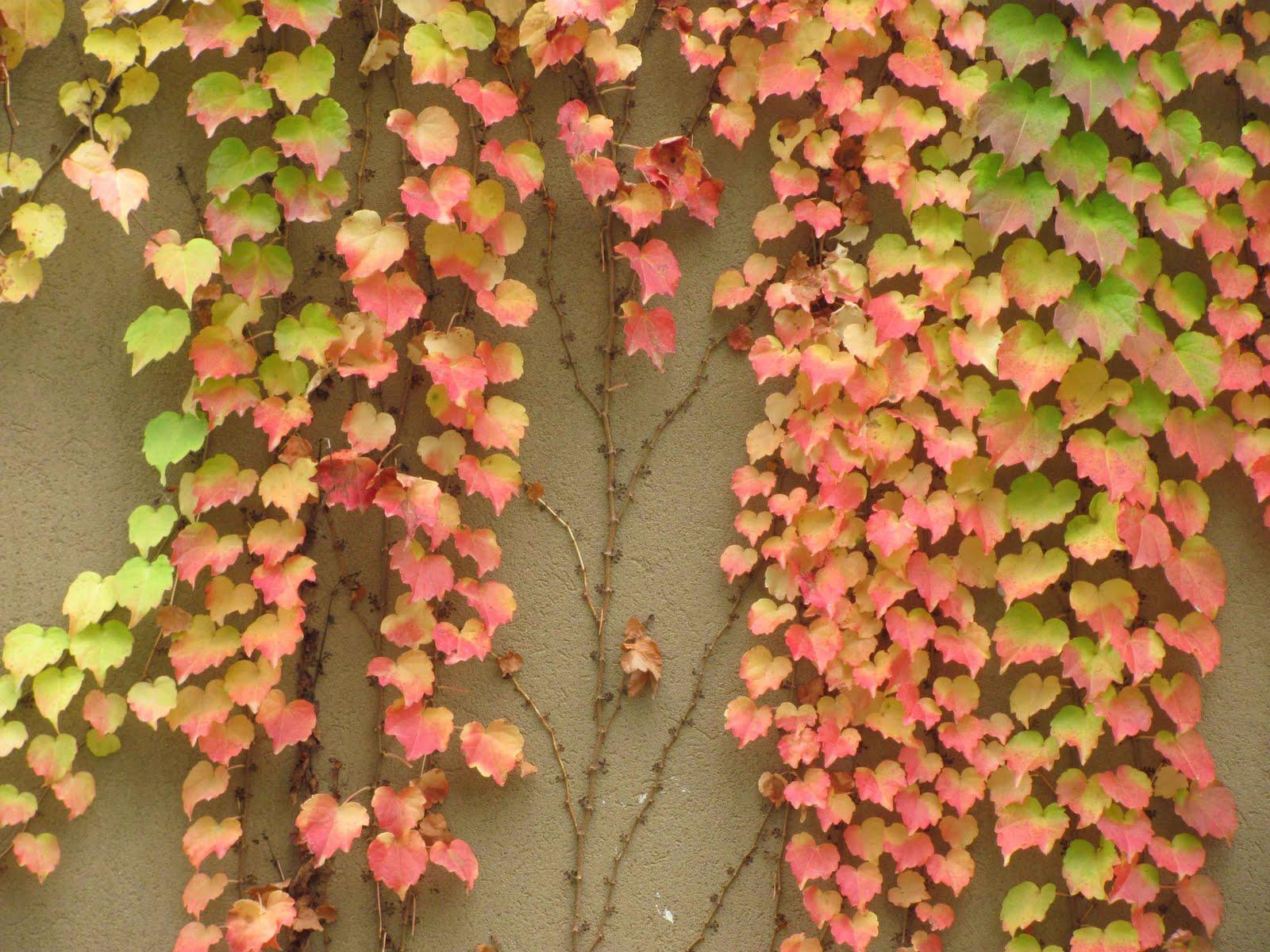 En el jardin enamorarse del muro y algo m s - Plantas trepadoras de sol ...
