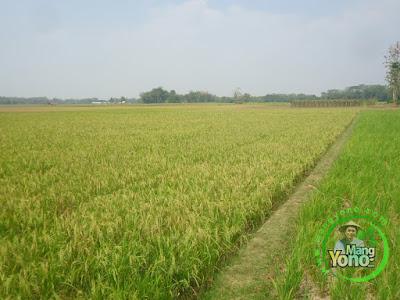 FOTO 3 :  Padi TRISAKTI 66 HST MT2 Di Tegalsungsang Blok Timur   Sudah Matang Adonan.