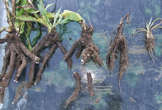 Harvested scorzonera roots