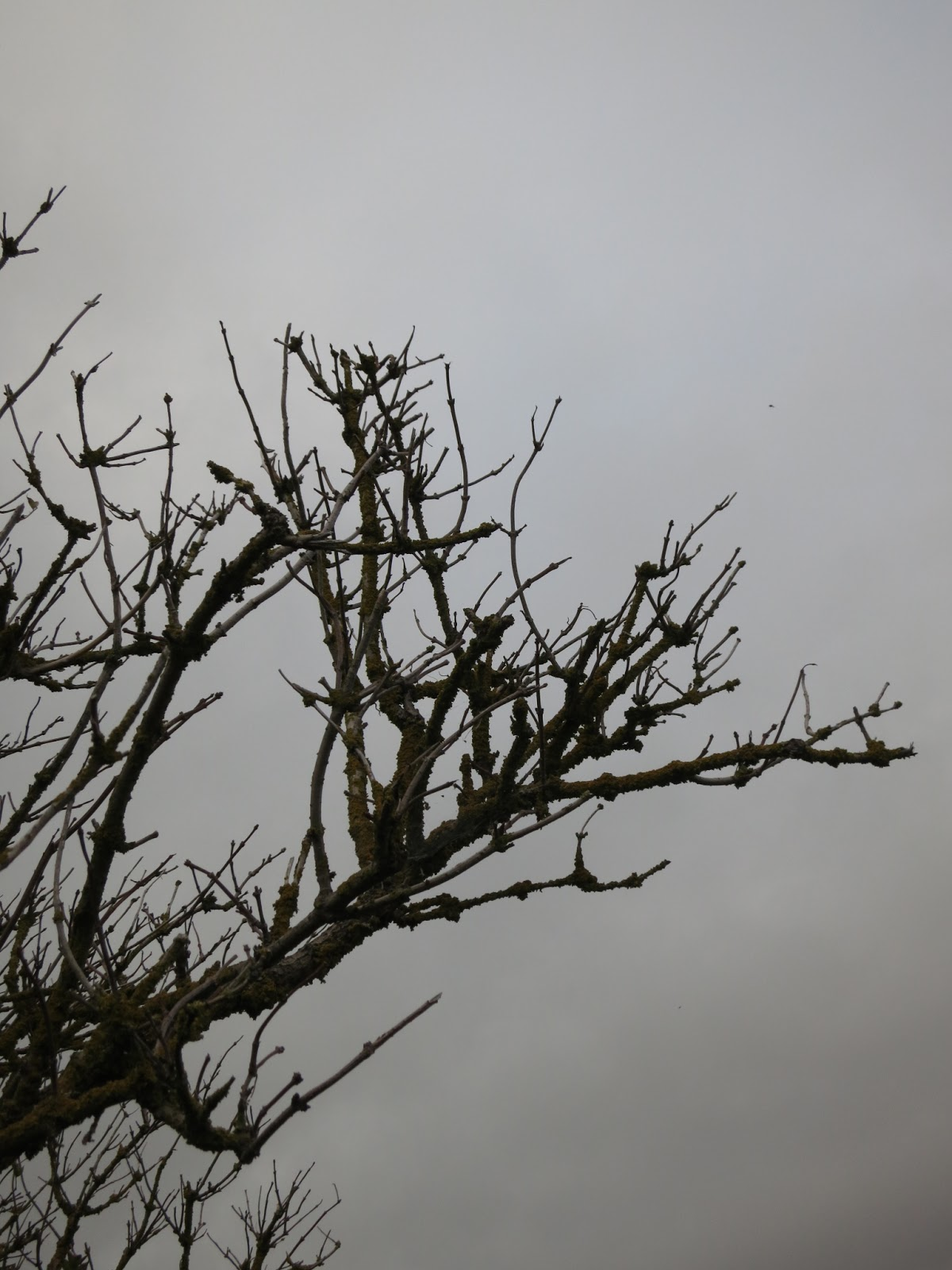 Bare branches of elderberry tree made lumpy by lichen silhouetted against a grey sky.