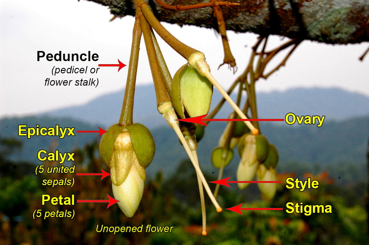 Durian Info: Botany of The Common Durian