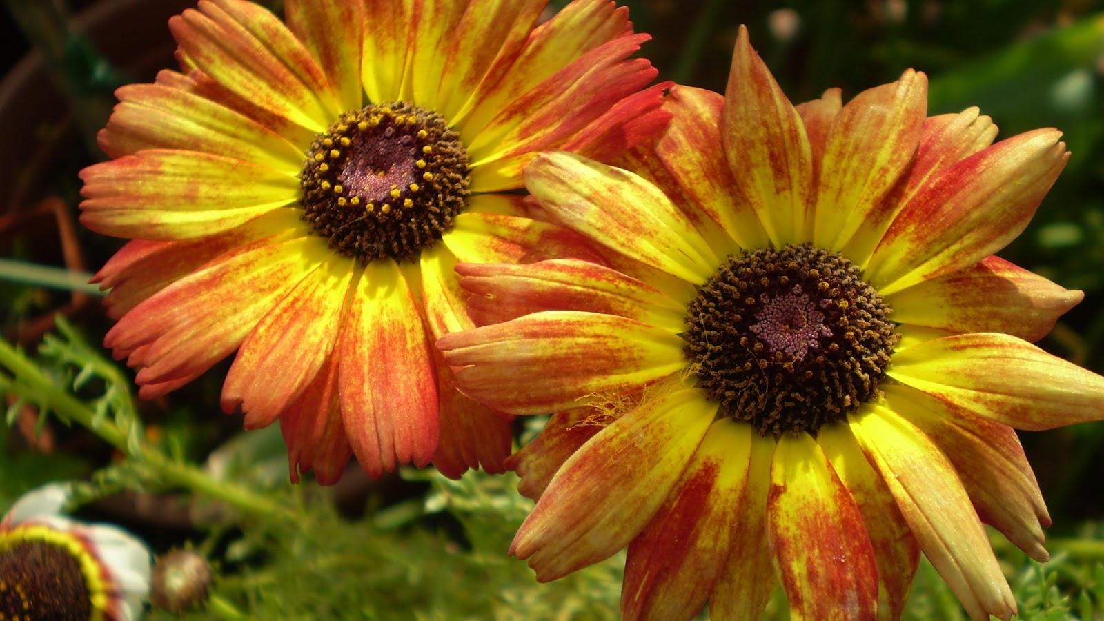 El jardinero urbano - Como cultivar crisantemos ...