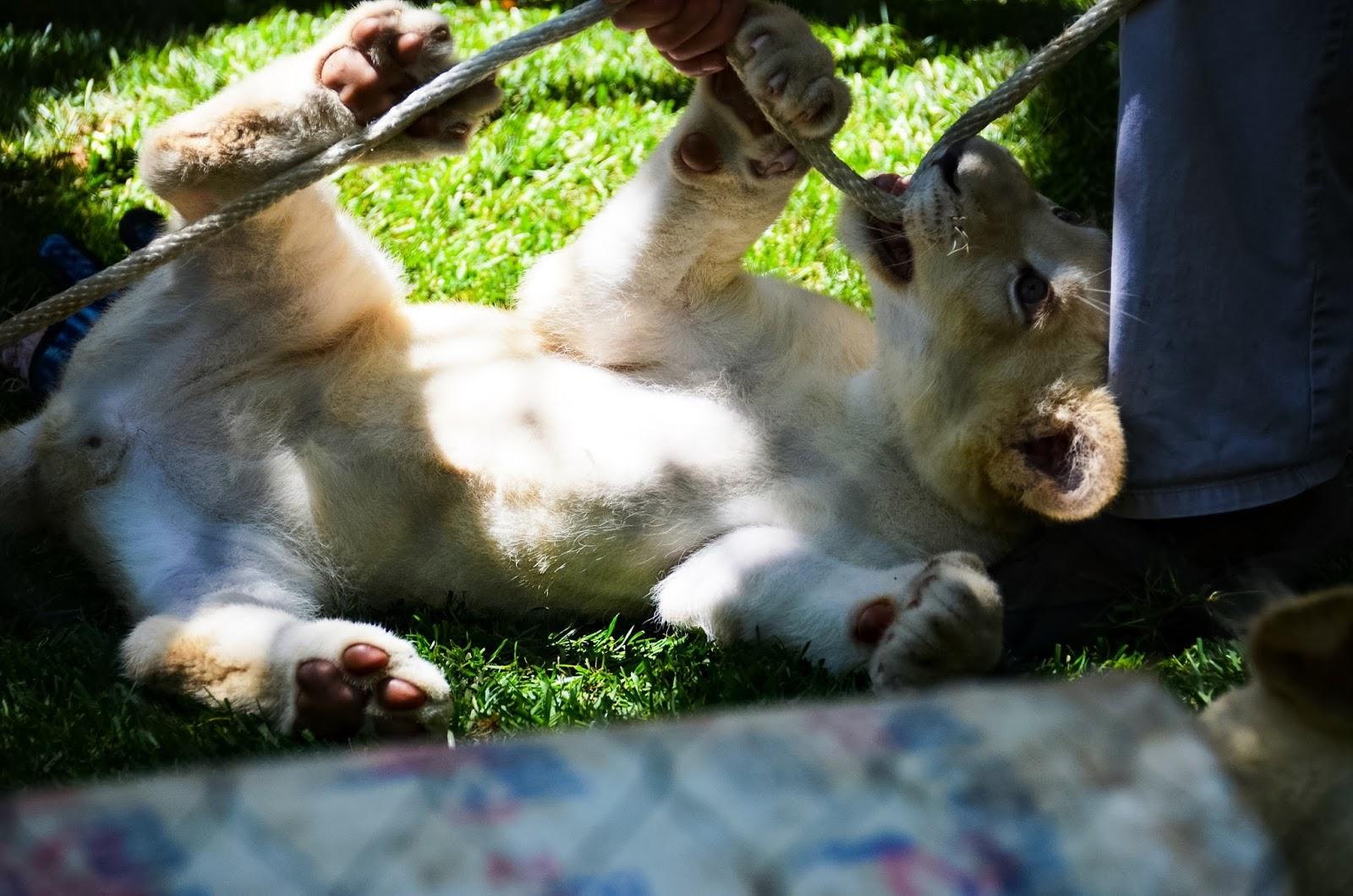 lion cub at the secret garden in las vegas