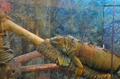 Челябинский аквариум на ЧМЗ. Игуана