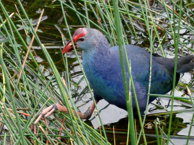 Purple Swamphen foraging at Wakodahatchee Wetlands