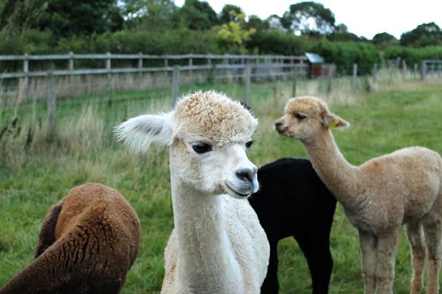 Alpacas Toft yarn SallyStrawberry