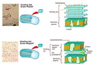 perbedaan bakteri gram positif dan negatif,perbedaan bakteri gram positif dan negatif dan contohnya,perbedaan bakteri gram positif dan negatif brainly,tabel perbedaan bakteri gram positif dan negatif,