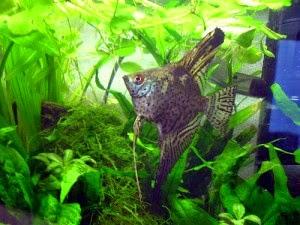 Dunia Ikan Hias - Leopard Manfish