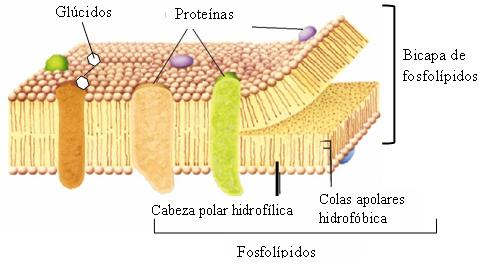 Célula Animal Biología