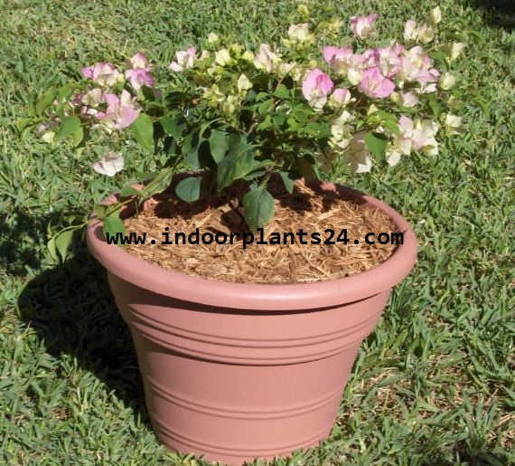 Bougainvillea glabra plant image potted