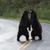 oso vs oso gran pelea que se volvió viral
