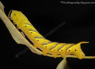 Deaths Head Hawk moth Larva