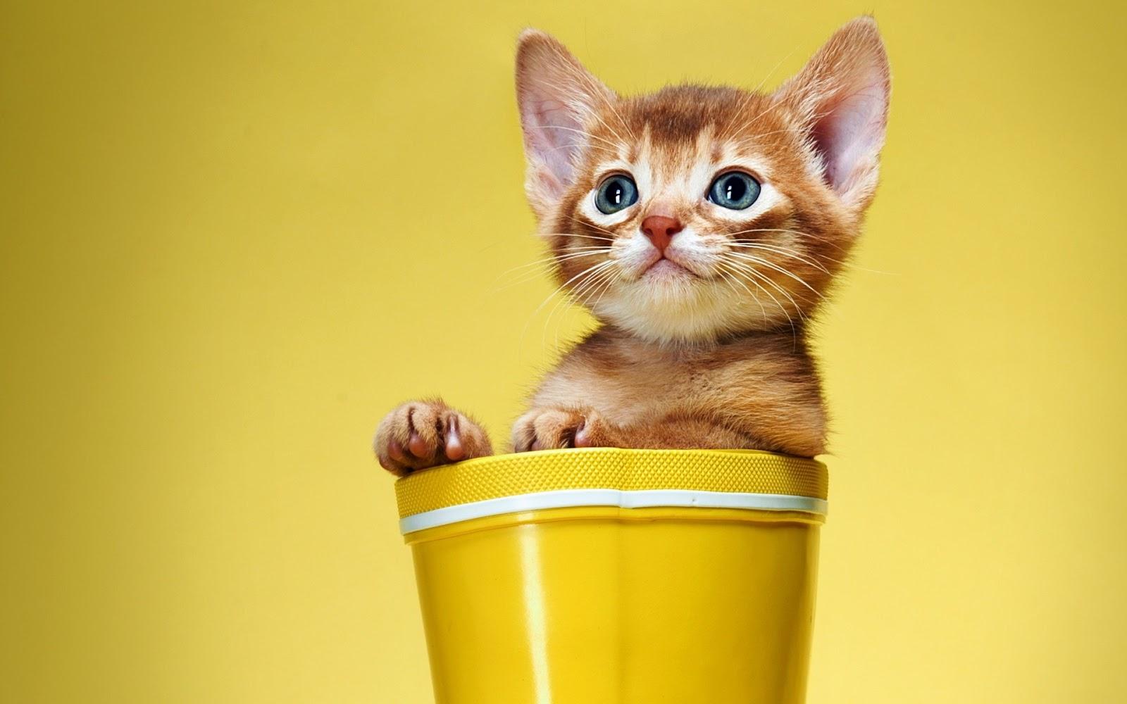 hình nền mèo con cute