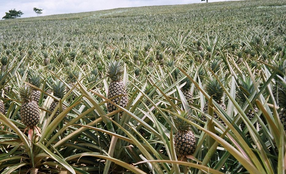 Fiche technique : Culture de l'ananas