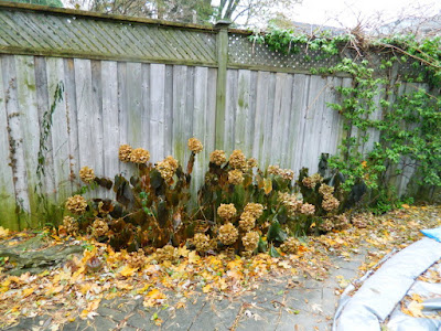 Bedford Park Toronto Garden Fall Cleanup before by Paul Jung Gardening Services