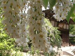 浄智寺のハクウンボク