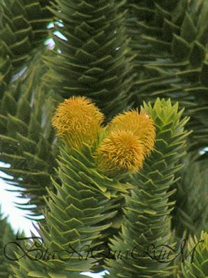 Botaniquarium - Araucaria araucana emerging flowers