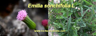 Mastitis use Emilia Sonchifolia