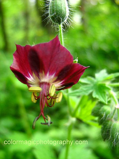 Geranium phaeum flower and hairy buds - close-up