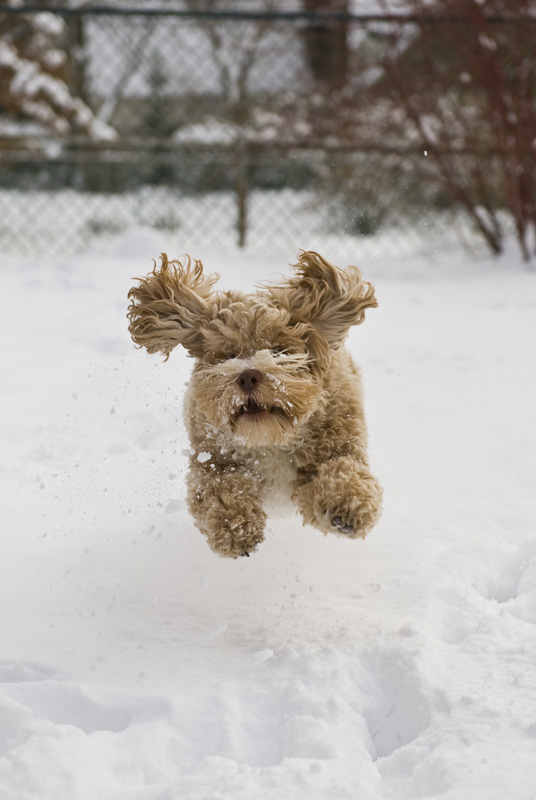 A happy cockapoo leaps through the snow