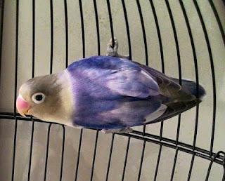 lovebird parblue blorok