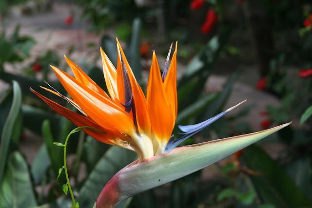 bird-of-paradise%2Bflower%2B2.jpg