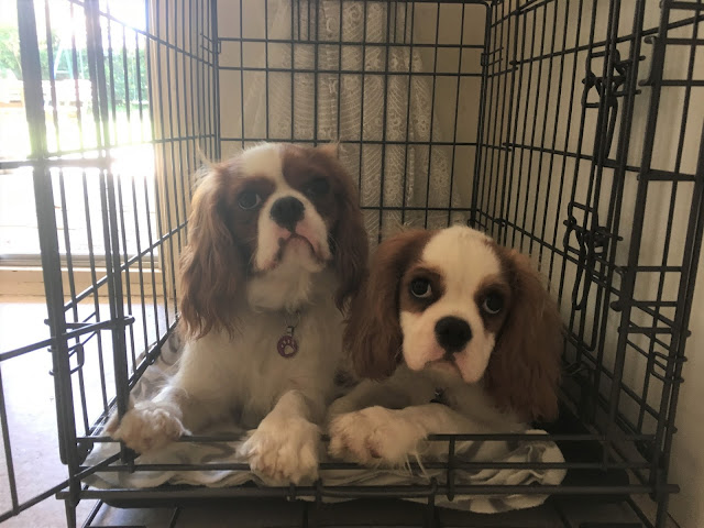 Big and little cavaliers in one crate, wide-eyed