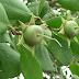 Limpahan Buah Mangrove