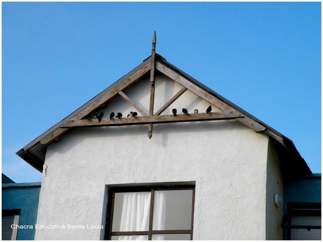 Es usual ver a las golondrinas en vigas y techos - Chacra Educativa Santa Lucía