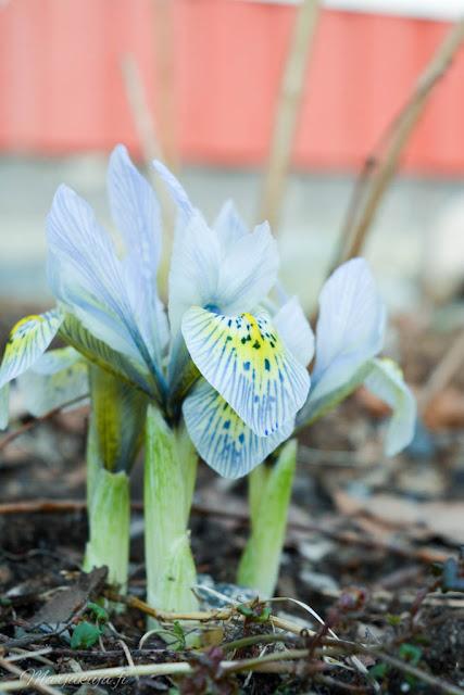 iiris kevät kukkija