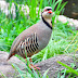 Chakur (Partridge) - National Bird of Pakistan