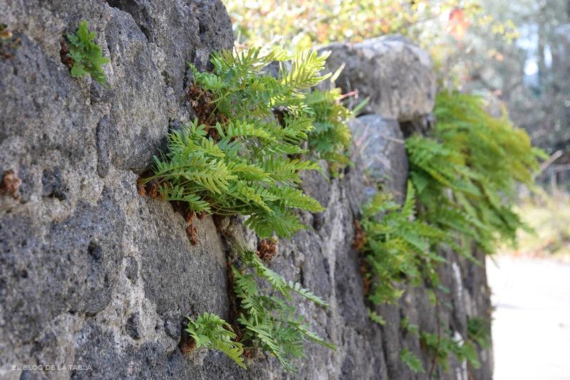 muro de piedra volcanica y helechos