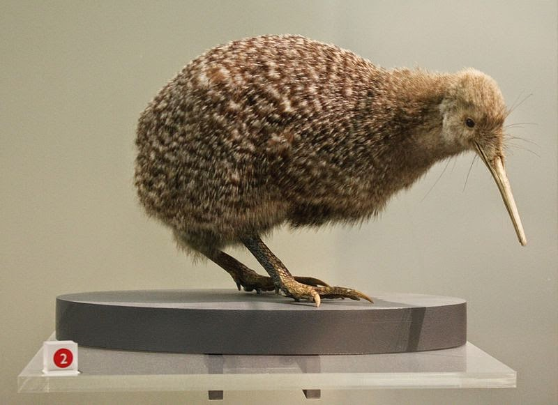 Image of a Little Spotted Kiwi (A. owenii)