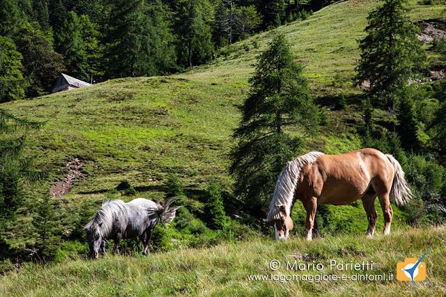 Cavalli all'alpe Sdun