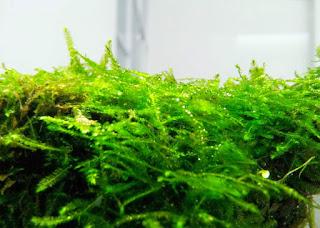 Jenis Moss untuk Aquascape Singapore Moss