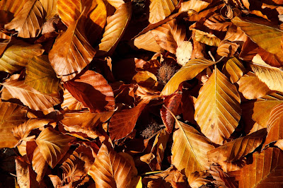 brown-beech-leaves-pics-collection