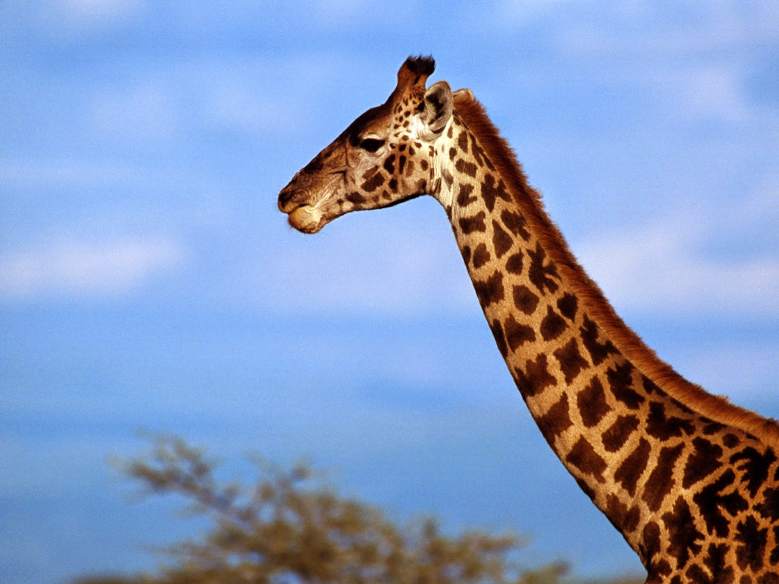 giraffe wallpapers hd pictures - photo #33