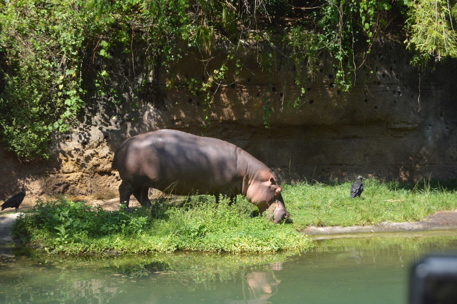 A Hippo drinking fro a stream