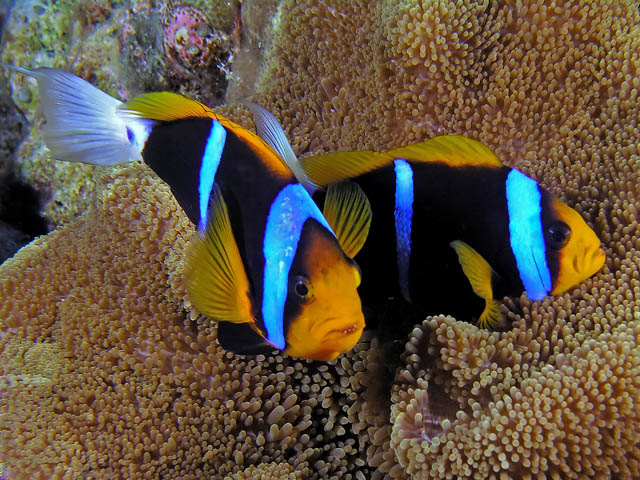 ornamental fish types