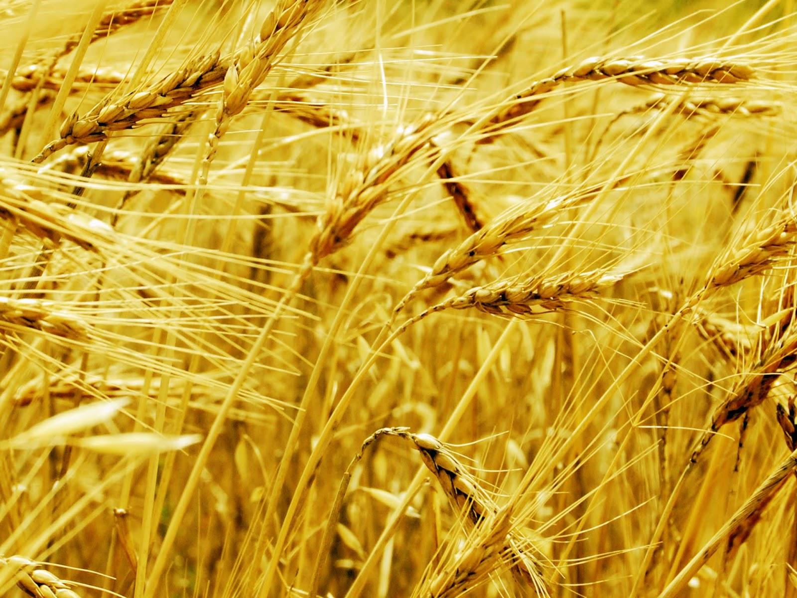 Plantação de trigo, em tons dourados, sendo fustigada pelo vento ilustra este post sobre o Shijing, o Livro das Canções.